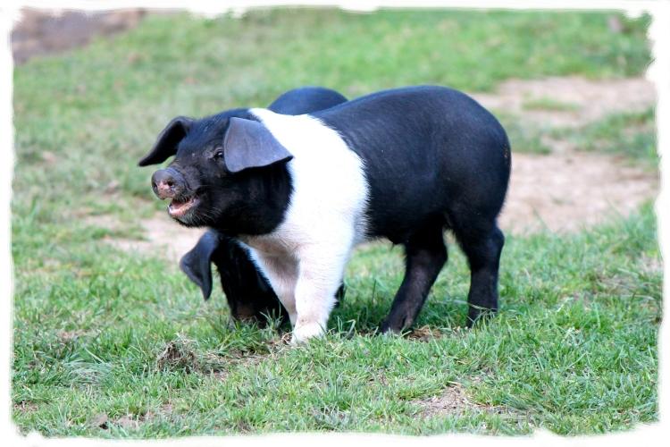 nuggety piglets
